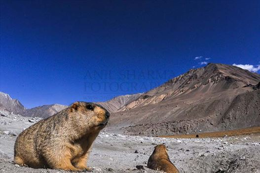 Two Himalayan Marmots enjoying sun at Leh.