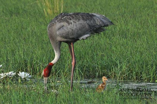 Birds- Sarus Crane (Grus Antigone) - Mom Sarus Crane, Grus Antigone (Linnaeus) with her chick at Greater Noida, Uttar Pradesh, India.