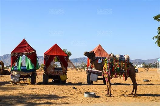 Pushkar, Rajasthan, India- January 16, 2018: Decorated Camel coach for tourists and devotees at Pushkar, Rajasthan, India.