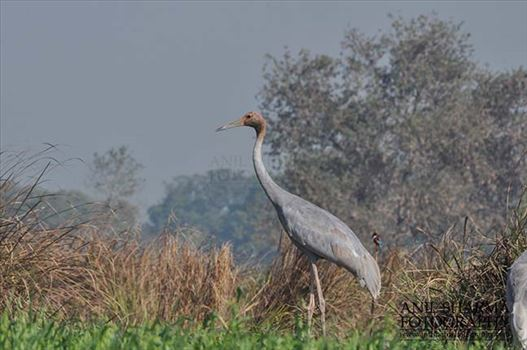 Birds- Sarus Crane (Grus Antigone) - A young Sarus Crane, Grus Antigone (Linnaeus) in an agricultural field at Dhanauri wetland, Greater Noida, Uttar Pradesh, India.