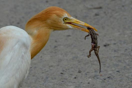 Birds- Cattle Egret (Bubulcus ibis) - Noida, India- June 25, 2015: Cattle Egret (Bubulcus ibis) during breeding season with lizard in its beak at Noida, Uttar Pradesh, India.