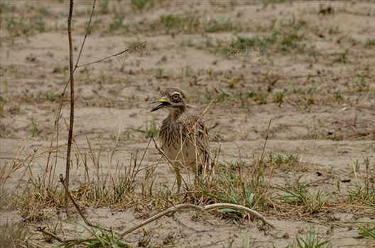 Eurasian stone curlew or stone-curlew (Burhinus oedicnemus) at Noida, Uttar Pradesh, India- June 18, 2017: Front pose of a Female Eurasian stone guarding her nestat Noida, Uttar Pradesh, India.