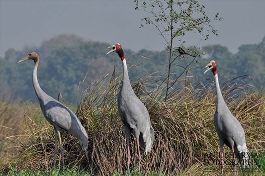 Birds- Sarus Crane Grus Antigone - The tallest of the flying birds, Sarus Crane in India considered symbols of marital fidelity, believed to mate for life and pine the loss of their mates even to point of starving to death.