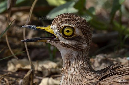 Eurasian stone curlew or stone-curlew (Burhinus oedicnemus) at Noida, Uttar Pradesh, India- June 19, 2017: Close-up of a Female Eurasian stone facing right in a field at Noida, Uttar Pradesh, India.