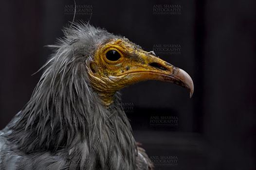 Birds- Egyptian Vulture (Neophron percnopterus) - Egyptian vulture, Aligarh, Uttar Pradesh, India- May 26, 2017: Close-up of an Egyptian Vulture looking straight with dark background at Aligarh, Uttar Pradesh, India.