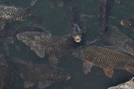Travel- Nainital (Uttarakhand) - Nainital, Uttarakhand, India- November 11, 2015: The Indian Humpback Mahseer fish in the Naini Lake at Boat House Club, Mallital, Nainital, Uttarakhand, India.