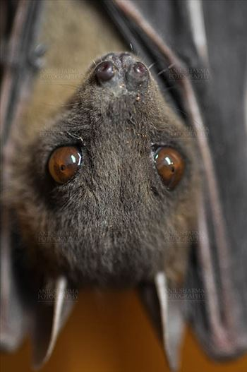 Indian Fruit Bats (Pteropus giganteus)  Noida, Uttar Pradesh, India- January 19, 2017: An Indian fruit bat hanging upside down showing big eyes at Noida, Uttar Pradesh, India.