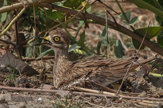 Eurasian stone curlew or stone-curlew (Burhinus oedicnemus) at Noida, Uttar Pradesh, India- June 19, 2017: A Female Eurasian stone sitting on her Eggs at Noida, Uttar Pradesh, India.