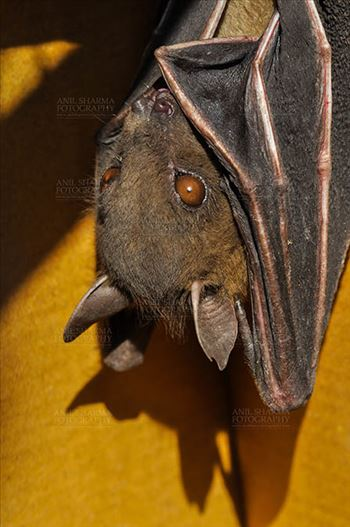 Indian Fruit Bats (Pteropus giganteus) Nostrils, Noida, Uttar Pradesh, India- January 19, 2017: Close-up of an Indian fruit bat hanging upside down looking left body covered with its wings, showing face detail at Noida, Uttar Pradesh, India.