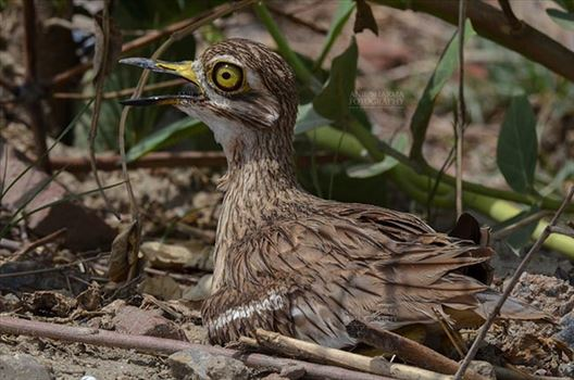 Eurasian stone curlew or stone-curlew (Burhinus oedicnemus) at Noida, Uttar Pradesh, India- June 19, 2017: Close-up of a Female Eurasian stone sitting on her Eggs in a field at Noida, Uttar Pradesh, India.