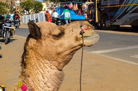 Pushkar, Rajasthan, India- January 16, 2018: Close-up of a Camel at Pushkar fair, Rajasthan, India.