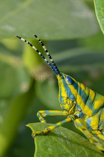 Micro photography of an Indian Painted Grasshopper's head (Poekilocerus Pictus) sitting on milkweed plant leaves at Noida, Uttar Pradesh, India.