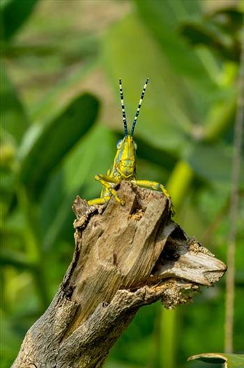 An Indian Painted Grasshopper, Poekilocerus Pictus, sitting on a tree branch.