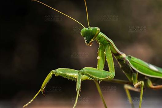 Insect- Praying Mantis - Close-up of a Praying Mantis, Mantodea (or mantises, mantes) with dark background in playful mood in a garden at Noida, Uttar Predesh, India.