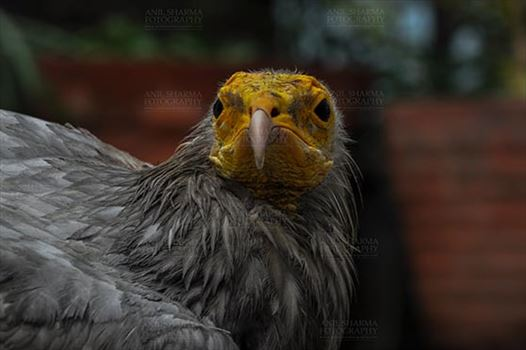 Egyptian vulture, Aligarh, Uttar Pradesh, India- January 21, 2017:   Close-up of an Egyptian Vulture looking straight with dark background at Aligarh, Uttar Pradesh, India.