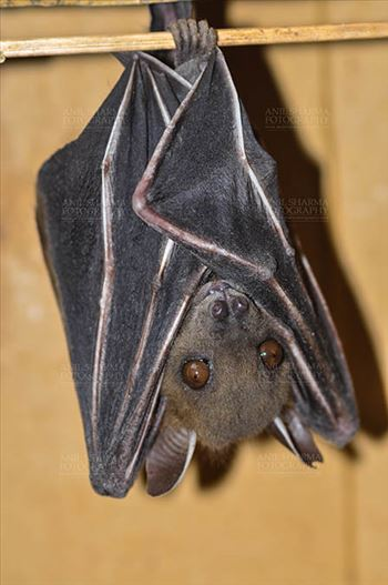 Indian Fruit Bats (Pteropus giganteus) Noida, Uttar Pradesh, India- January 19, 2017: hanging upside down showing face detail at Noida, Uttar Pradesh, India.