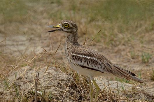 Eurasian stone curlew or stone-curlew (Burhinus oedicnemus) at Noida, Uttar Pradesh, India- June 18, 2017: A Female Eurasian stone standing looking right, guarding her nest at Noida, Uttar Pradesh, India.