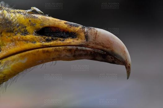 Egyptian vulture, Aligarh, Uttar Pradesh, India- January 21, 2017:  Micro shot of an adult Egyptian Vulture's beak with dark background at Aligarh, Uttar Pradesh, India.
