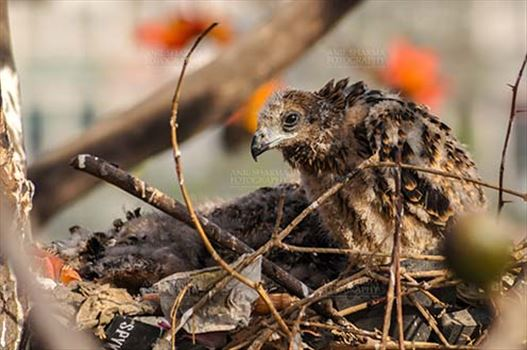 """When I was five weeks old"" - Baby black kite"