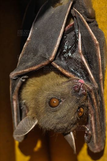 Indian Fruit Bats (Pteropus giganteus) Noida, Uttar Pradesh, India- January 19, 2017: Close-up of an Indian fruit bat captive roosting/grooming pose, urinating, licking its urine while hanging upside down at Noida, Uttar Pradesh, India.