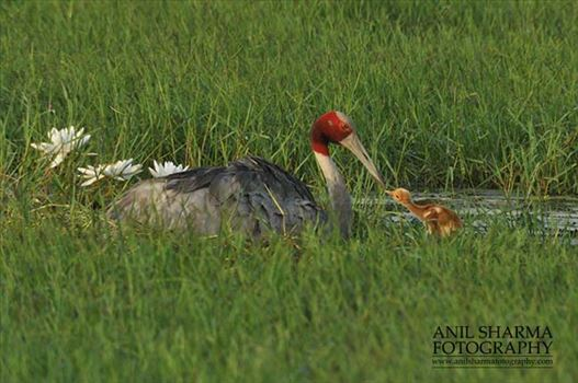 Birds- Sarus Crane (Grus Antigone) - Tired Sarus Crane Mom, Grus Antigone (Linnaeus) with her chick at Greater Noida, Uttar Pradesh, India.