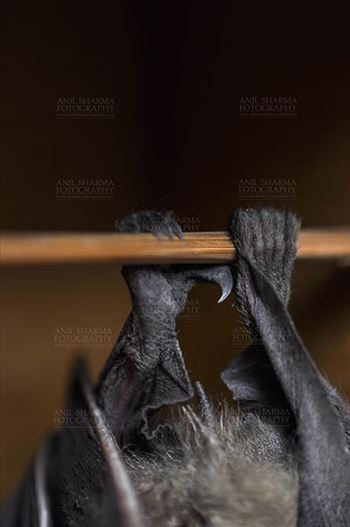 Indian fruit bat (Pteropus giganteus) claws, Noida, Uttar Pradesh, India- January 19, 2017: An Indian fruit bat hanging upside down, showing claws at Noida, Uttar Pradesh, India.