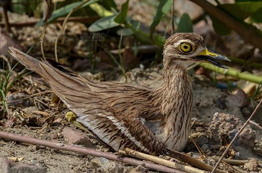 Eurasian stone curlew or stone-curlew (Burhinus oedicnemus) at Noida, Uttar Pradesh, India- June 18, 2017: Close-up of a  Female Eurasian stone sitting on her Eggs at Noida, Uttar Pradesh, India.