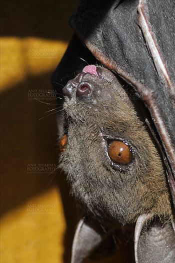 Indian Fruit Bats (Pteropus giganteus) Nostrils, Noida, Uttar Pradesh, India- January 19, 2017: Close-up of an Indian fruit bat hanging upside down looking left showing face detail at Noida, Uttar Pradesh, India.