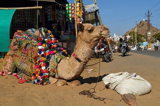Pushkar, Rajasthan, India- January 16, 2018: Beautifully decorated Camel taking rest at Pushkar fair ground, Rajasthan, India.
