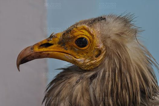 Birds- Egyptian Vulture (Neophron percnopterus) - Egyptian vulture, Aligarh, Uttar Pradesh, India- January 21, 2017:  Close-up of an adult Egyptian Vulture with light blue background at Aligarh, Uttar Pradesh, India.