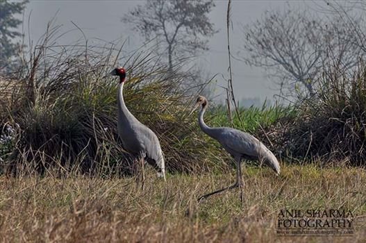 Birds- Sarus Crane (Grus Antigone) - Mom Sarus Crane, Grus Antigone (Linnaeus) in an agricultural field with her chick at Greater Noida, Uttar Pradesh, India.