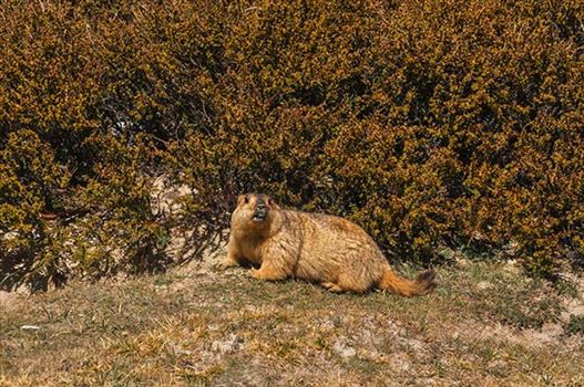 A young Himalayan Marmots in search of food.
