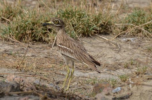 Eurasian stone curlew or stone-curlew (Burhinus oedicnemus) at Noida, Uttar Pradesh, India- June 19, 2017: A Female Eurasian stone guarding her nest In a field at Noida, Uttar Pradesh, India.