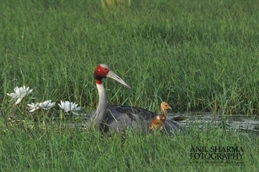 Birds- Sarus Crane (Grus Antigone) - Mom Sarus Crane, Grus Antigone (Linnaeus) with her young chick at Greater Noida, Uttar Pradesh, India.