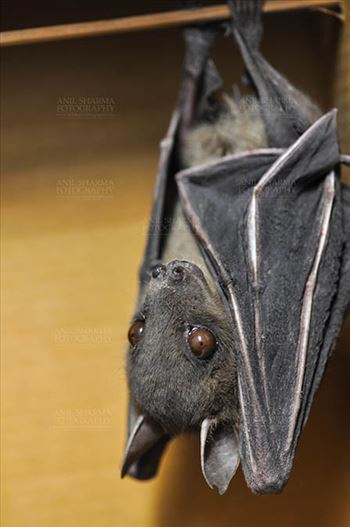 Indian Fruit Bats (Pteropus giganteus) Noida, Uttar Pradesh, India- January 19, 2017: Side pose of an Indian fruit bat captive roosting/grooming pose while hanging upside down at Noida, Uttar Pradesh, India.