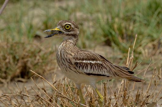 Eurasian stone curlew or stone-curlew (Burhinus oedicnemus) at Noida, Uttar Pradesh, India- June 18, 2017: A Female Eurasian stone standing in the dry grass land guarding her nest  at Noida, Uttar Pradesh, India.