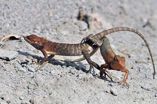 Reptiles Oriental Garden Lizard Reptiles Oriental Garden Lizard Anilsharmafotography Com