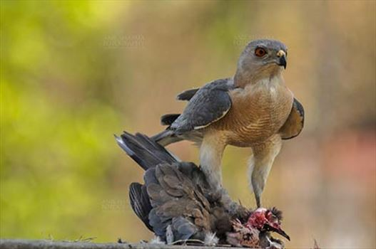 Birds- Shikra Accipiter badius (Gmelin) - The shikra is a small raptor, has short rounded wings and a narrow long tail, males have a red iris while the females have yellowish orange iris.