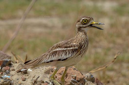 Eurasian stone curlew or stone-curlew (Burhinus oedicnemus) at Noida, Uttar Pradesh, India- June 18, 2017: Alert Female Eurasian stone guarding her nest at Noida, Uttar Pradesh, India.