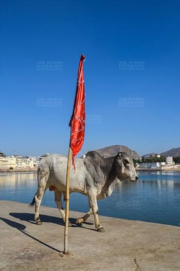 Pushkar, Rajasthan, India- January 16, 2018: A Bull strolling around at the Holy Pushkar Sarovar at Pushkar, Rajasthan, India.