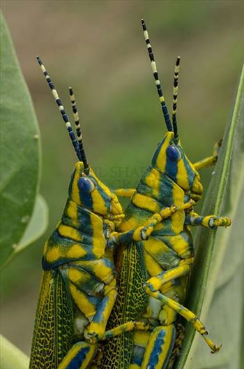 An Indian Painted Grasshopper, Poekilocerus Pictus, pair mating on milkweed plant leaves at Noida, Uttar Pradesh, India.
