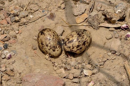 Eurasian stone curlew or stone-curlew (Burhinus oedicnemus) at Noida, Uttar Pradesh, India- June 18, 2017: Eurasian stone's two Eggs in her nest at Noida, Uttar Pradesh, India.