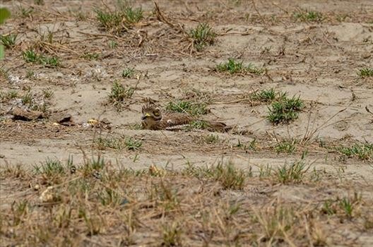 Eurasian stone curlew or stone-curlew (Burhinus oedicnemus) at Noida, Uttar Pradesh, India- June 18, 2017: A Female Eurasian stone sitting on the ground hideing herself at Noida, Uttar Pradesh, India.