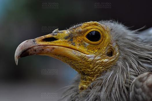 Birds- Egyptian Vulture (Neophron percnopterus) - Egyptian vulture, Aligarh, Uttar Pradesh, India- January 21, 2017: Close-up of an adult Egyptian Vulture with dark background at Aligarh, Uttar Pradesh, India.