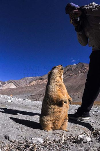 A tourist taking picture of Himalayan Marmots at Leh.