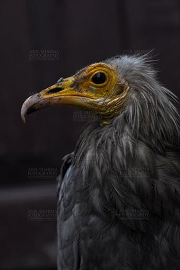 Egyptian vulture, Aligarh, Uttar Pradesh, India- January 21, 2017:  Side pose of an adult Egyptian Vulture with dark background at Aligarh, Uttar Pradesh, India.