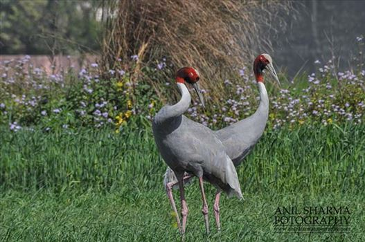 Birds- Sarus Crane (Grus Antigone) - A Sarus Crane pair, Grus Antigone (Linnaeus) in an agricultural field at Dhanauri wetland, Greater Noida, Uttar Pradesh, India.