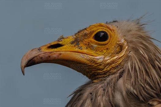 Egyptian vulture, Aligarh, Uttar Pradesh, India- January 21, 2017: Close-up of an adult Egyptian Vulture with blue background at Aligarh, Uttar Pradesh, India.