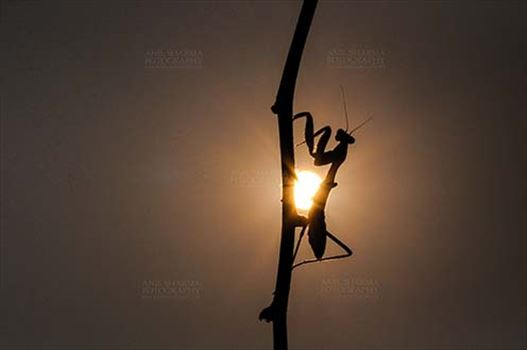 Insect- Praying Mantis - Sunset time, side view of a Praying Mantis, Mantodea (or mantises, mantes) in magical golden light on a tree branch at Noida, Uttar Pradesh, India