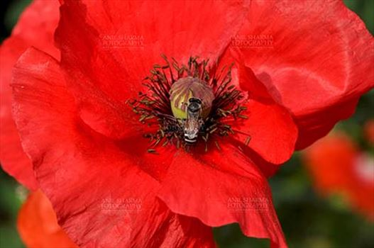 Flowers- Poppy Flowers (Papaver oideae) - Noida, Uttar Pradesh, India-February 23, 2015: Close up of a Beautiful Red Color Poppy (Papaver oideae) flower with honey bee in a garden at Noida, Uttar Pradesh, India.